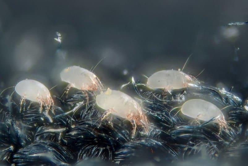 dust mites on cloth