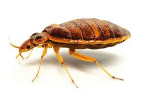 bed-bug-main