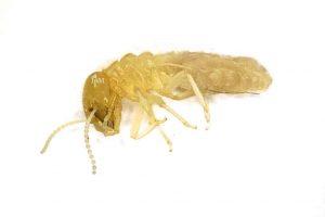 termite-pch-home