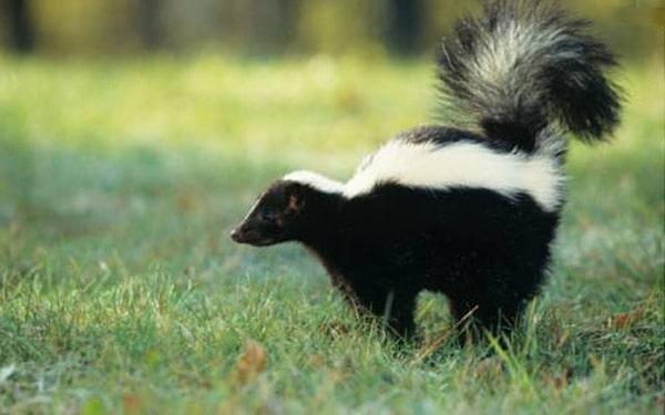 farting skunk