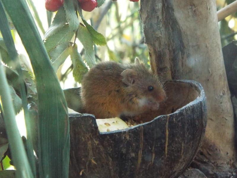 field mouse hiding in a jar