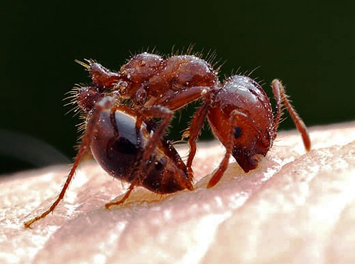 fire ant close look
