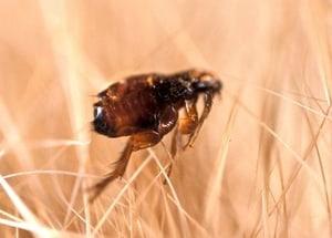 cat flea in cat hairs