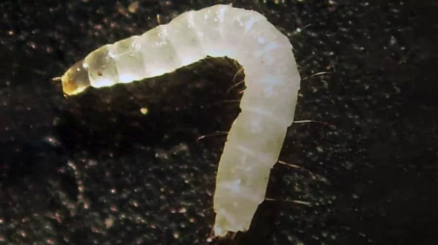 What Do Fleas Look Like Pictures Of Fleas Eggs Larvae Bites