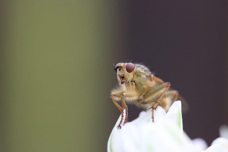 fruit fly in macro
