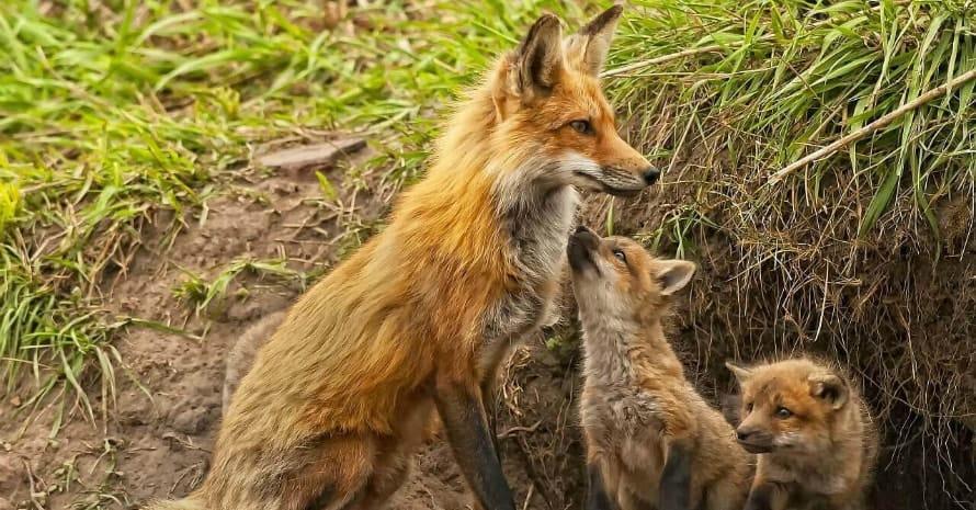 fox digs a hole