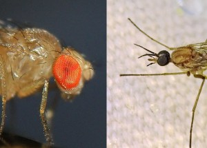 fruit fly and gnat comparison