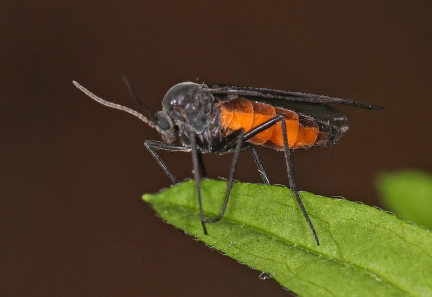 fungus gnat feeding on a leaf