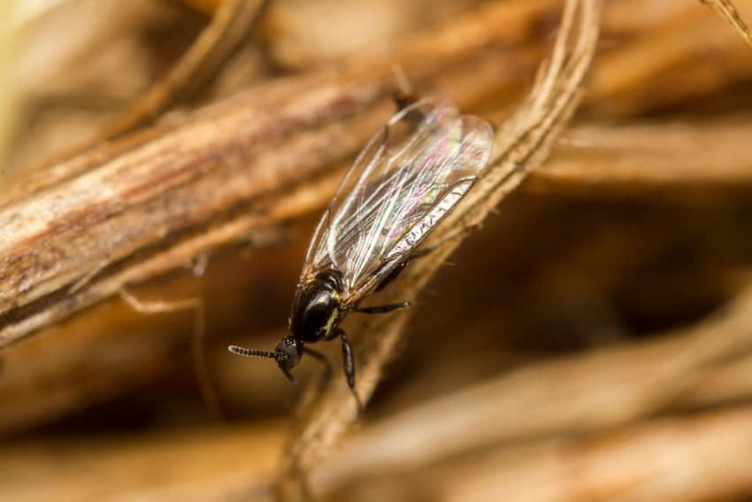 fungus gnat on a plant root