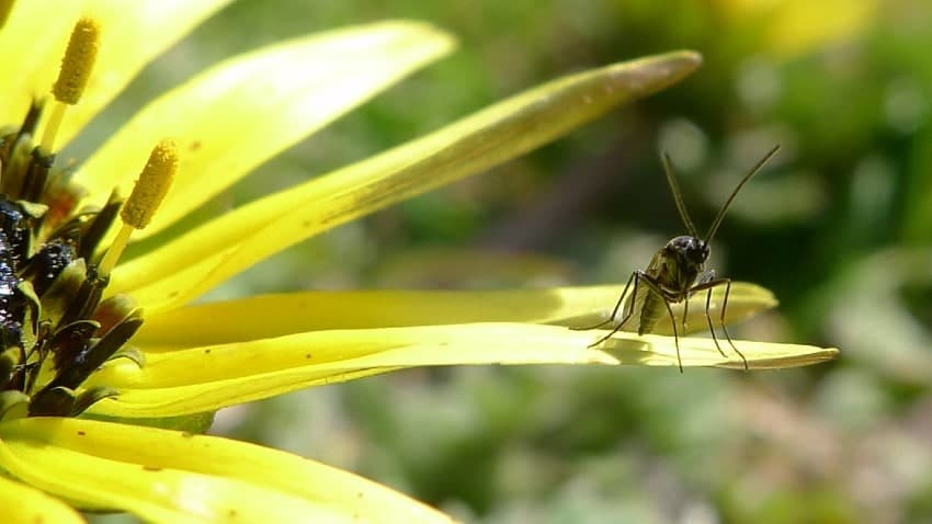 fungus gnat sitting on a flower