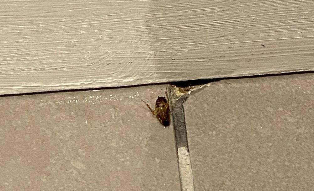 dead german roach