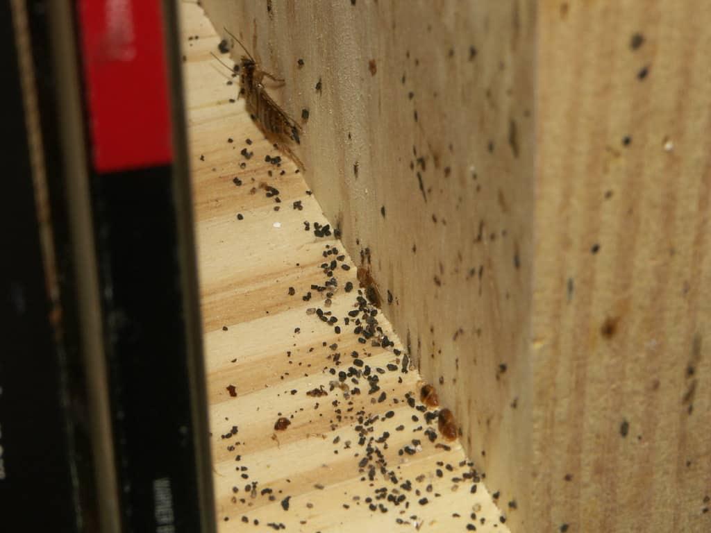 german roach droppings