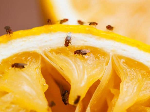 Getting Rid of Fruit Flies from Your Environment – The Best Techniques