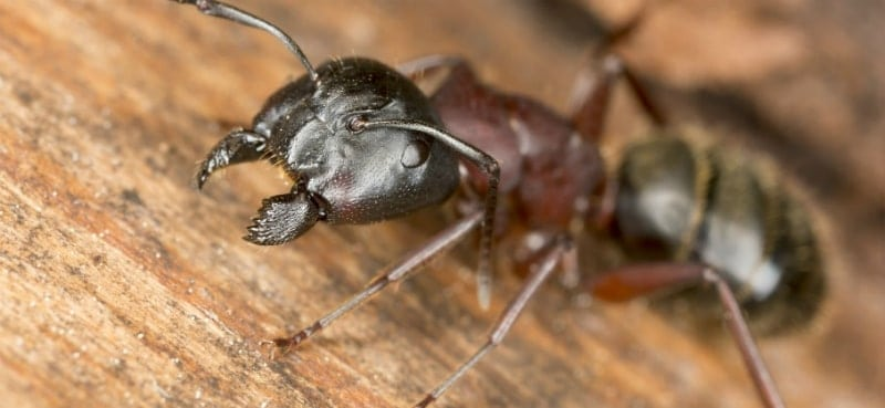 What Do Carpenter Ants Look Like?