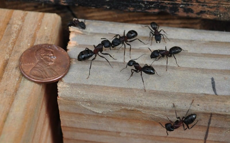 The Best Ways of Getting Rid of Carpenter Ants in House and Walls