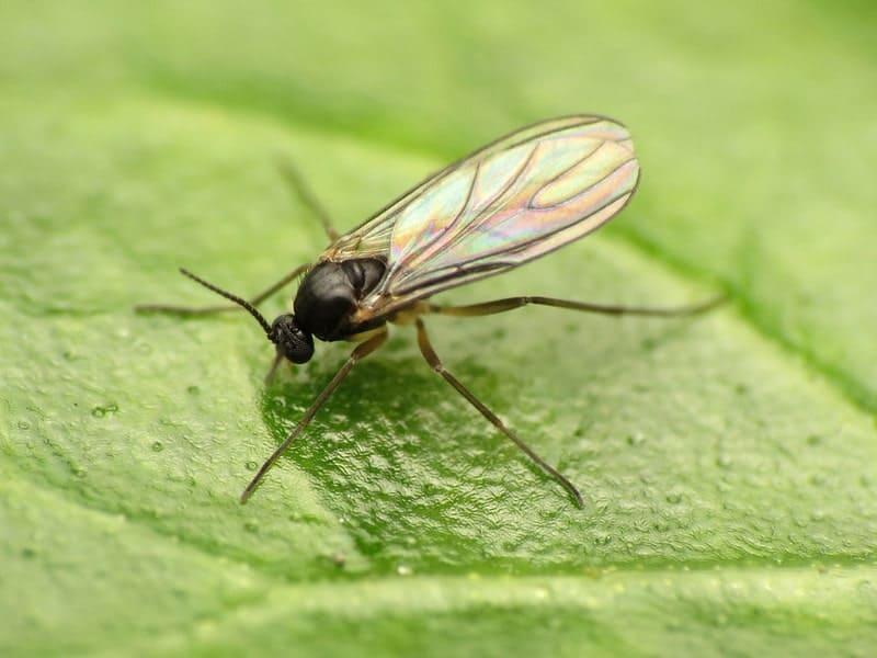black gnat sitting on leaf