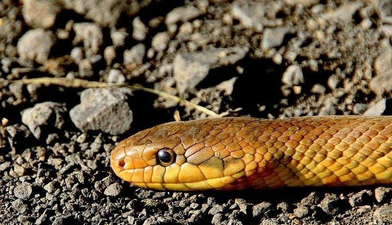 golden snake on a road