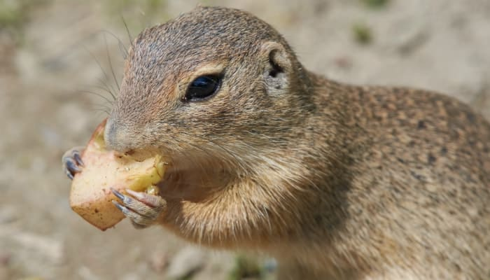 gopher eat potatoes