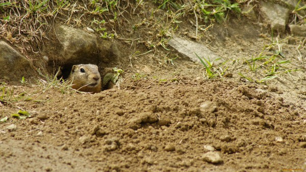gopher leaned out of the hole