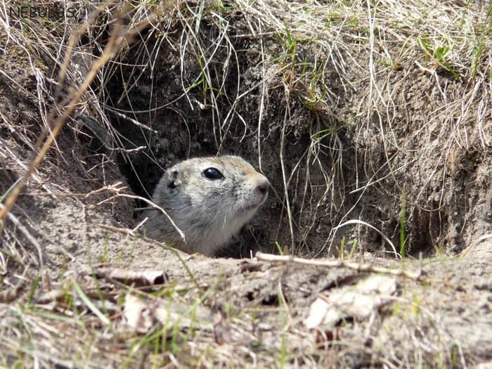gopher looks from a hole