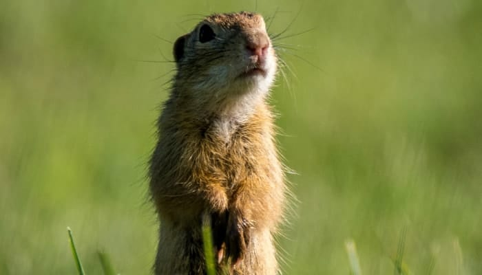 gopher standing in the grass