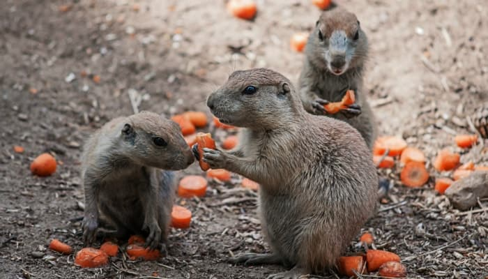 gophers eat carrots
