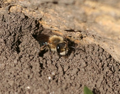 ground nesting bee