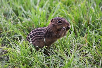 ground squirrel sitting in grass and eating seeds