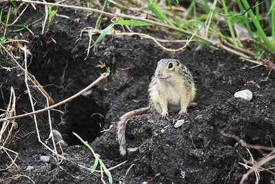 thirteen-lined ground squirrel sitting next to its hole