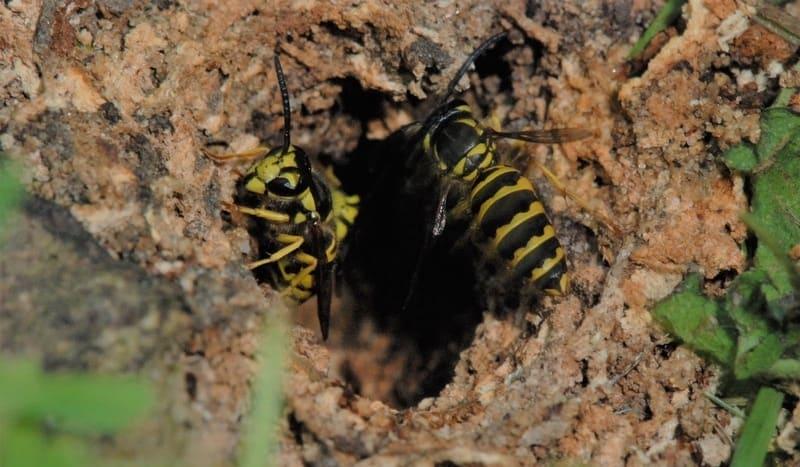 ground-wasp-nest