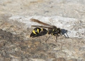 ground wasp walking on a stone