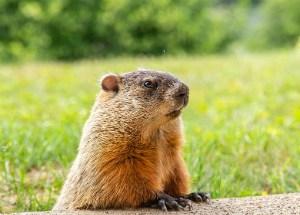 groundhog-animal-cute