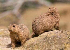 two groundhogs