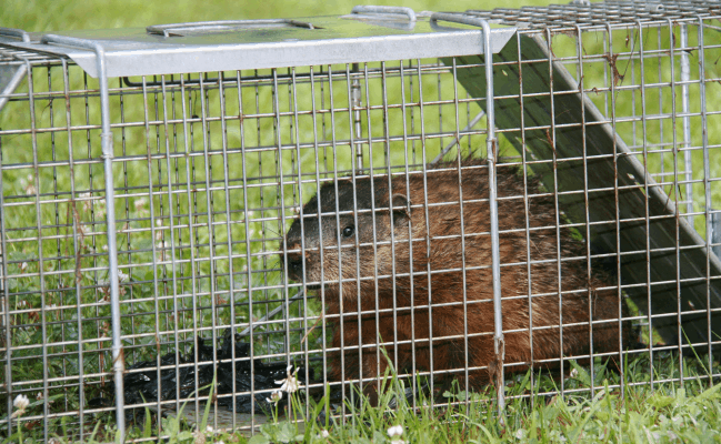 trapped groundhog
