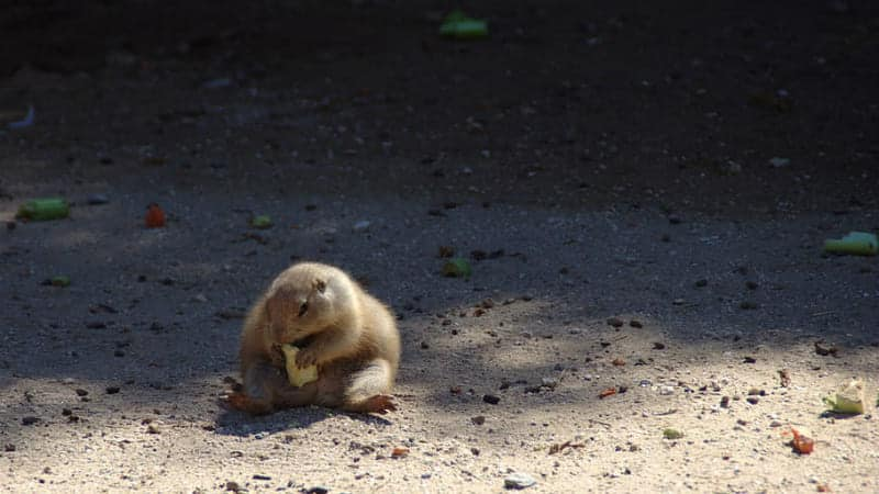 groundhogs eat apples