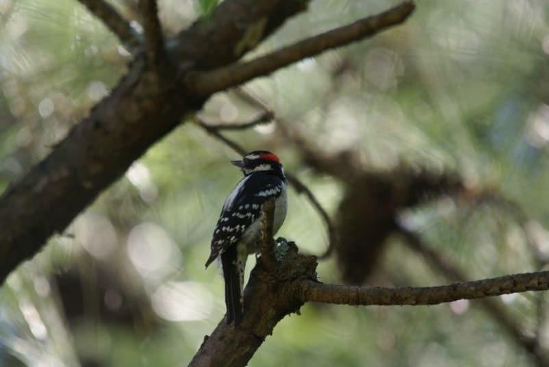 hairy woodpecker sitting on a tree