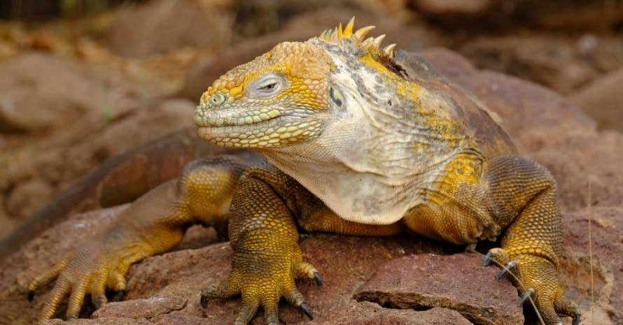 iguana on stones