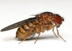 Drosophilae