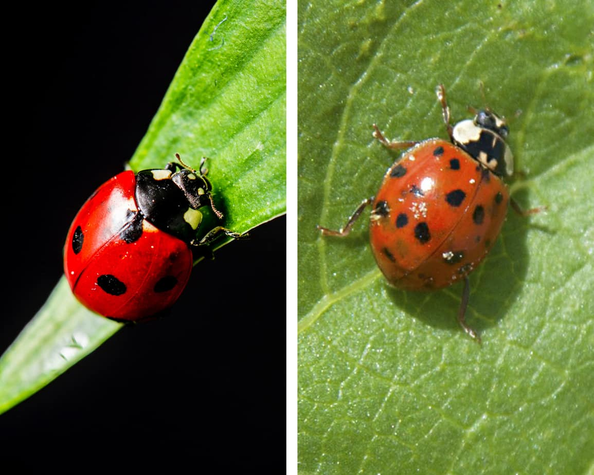 ladybug vs asian beetle