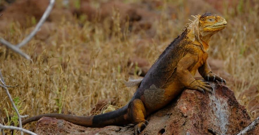 large iguana on a stone