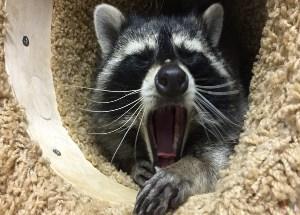 little yawning raccoon