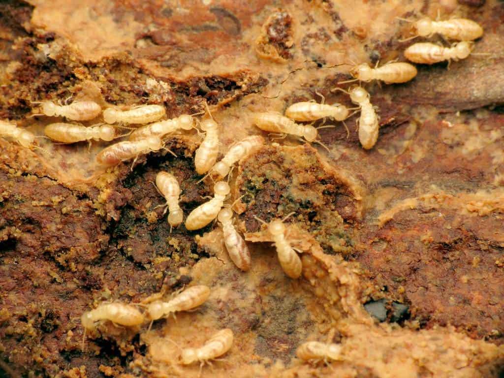 many-termites