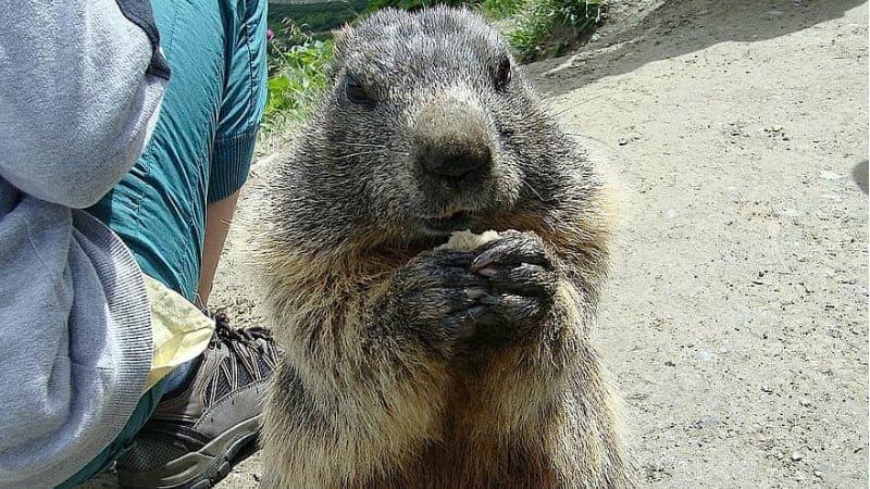 marmot-animals-nature-eating