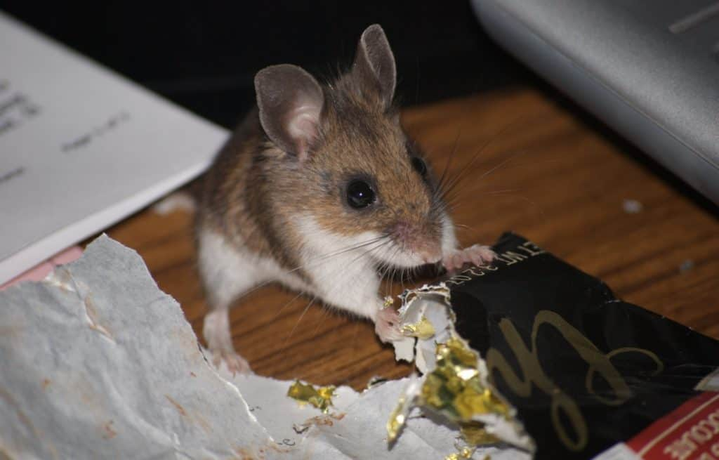 mouse eating sweets