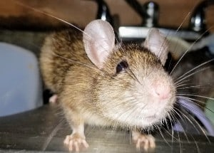 house-mouse-featured