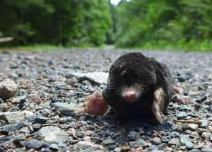 mole-on-a-road