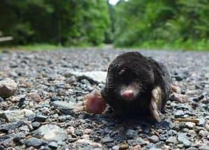 mole-on-a-road