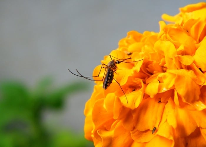 mosquito on the yellow flower
