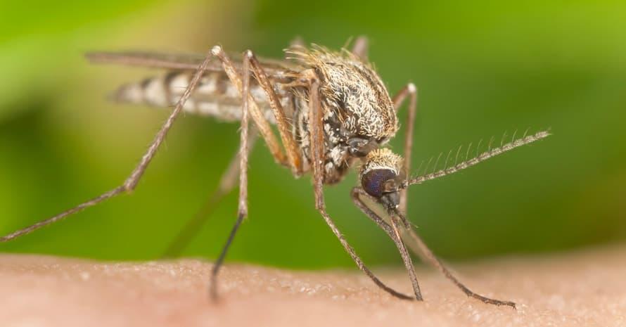 mosquito sucks blood