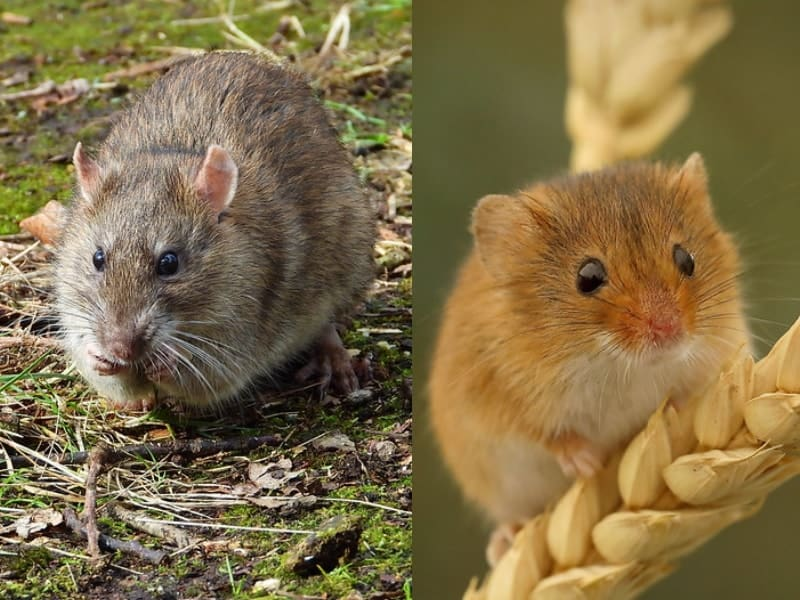 brown rat and harvest mouse appearance comparison